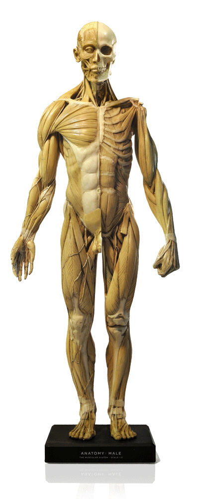 Male figure: General use v1A