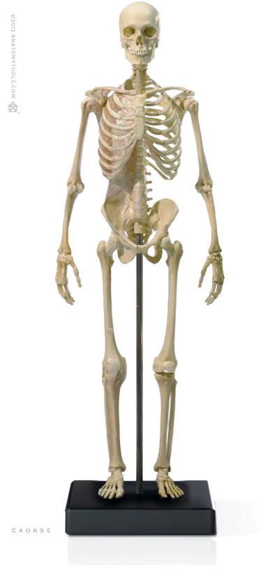 diagram of male skeleton anatomytools  anatomytools